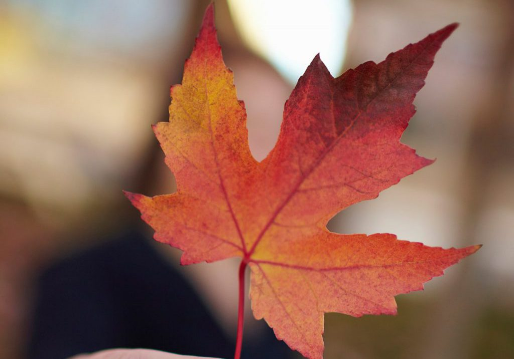 maple-leaf-extract-study-social